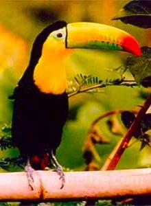 Belize Keel Billed Toucan