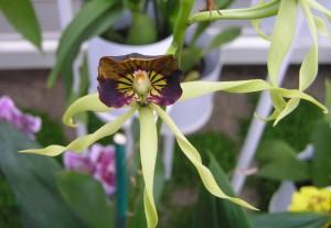 Black Orchid Encyclia Cochleata