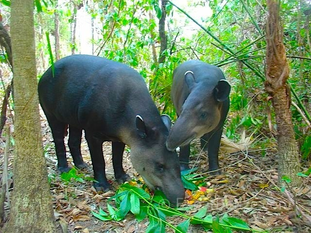Ceibo and Navidad at the Belize Zoo